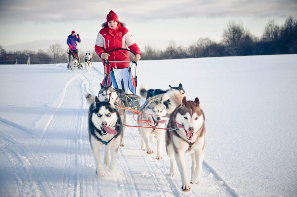 Mushing. Husky sledging. Chamonix France