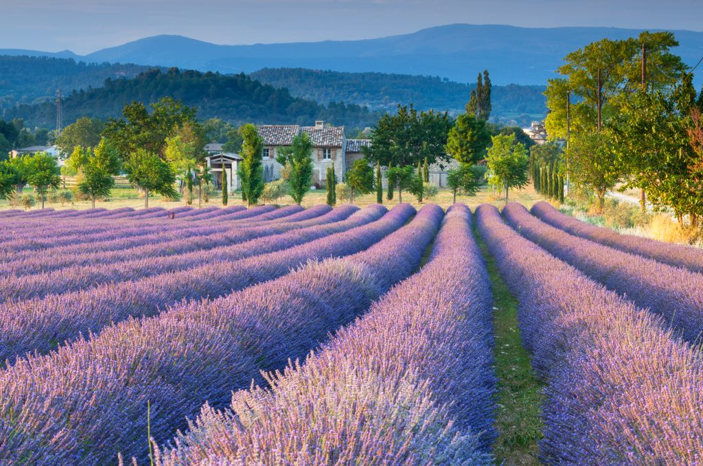 Lavender field in Provence. European Spring Blooms
