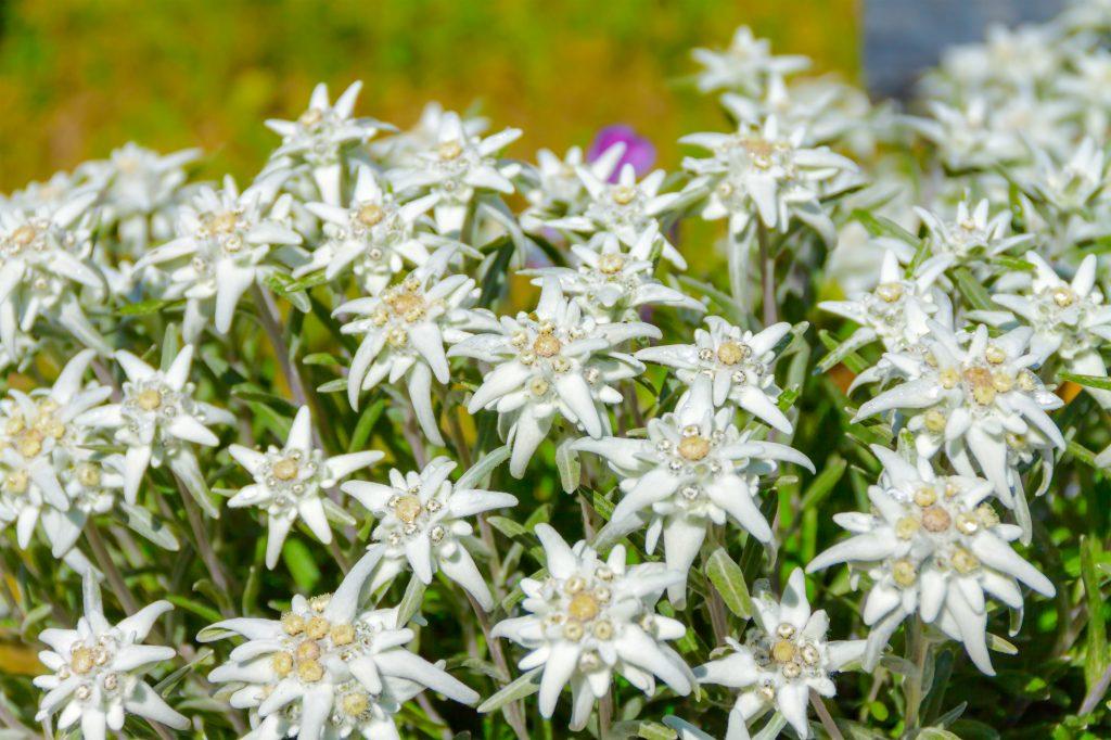 Leontopodium alpinum, flower Edelweiss, symbol of alps. European Spring Blooms
